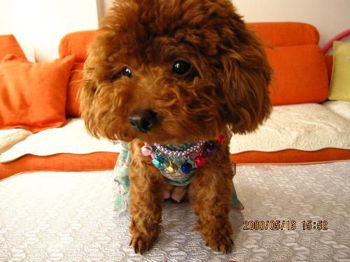 泰迪犬图片