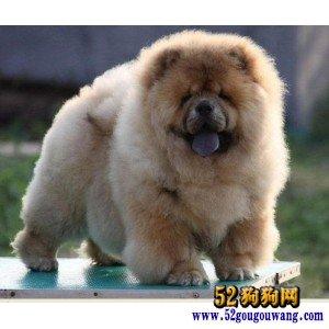纯种松狮犬宝宝代售