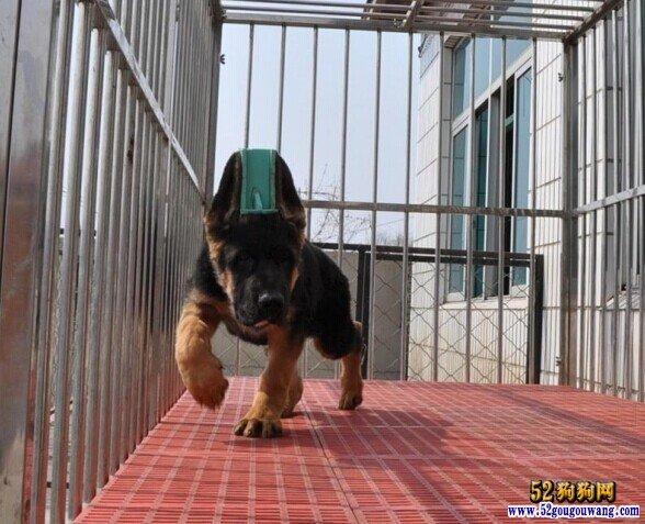 德国牧羊犬幼犬