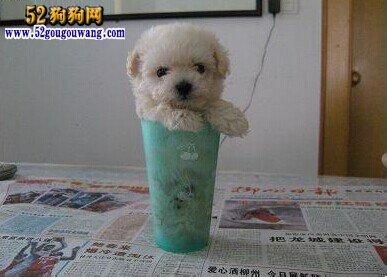 茶杯贵宾犬
