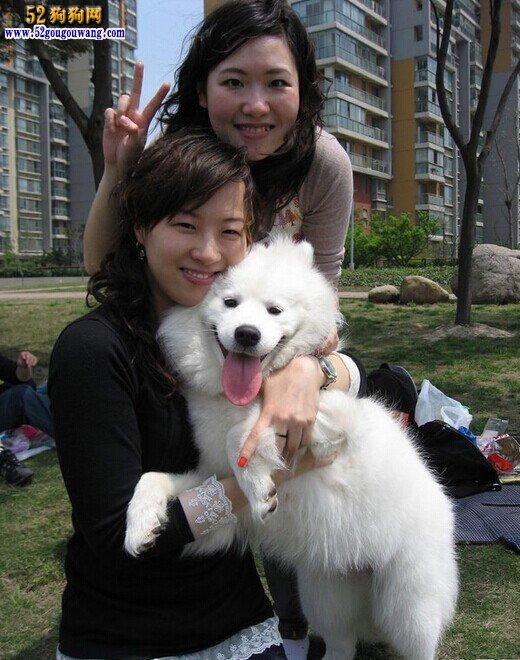 萨摩耶犬和他们的美女主人