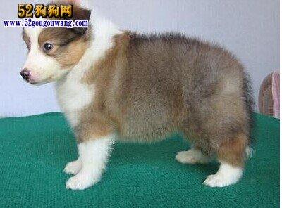 喜乐蒂幼犬