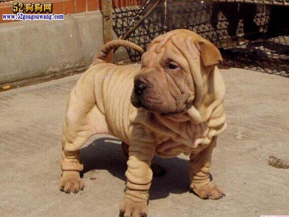 沙皮犬价格,沙皮犬多少钱一只