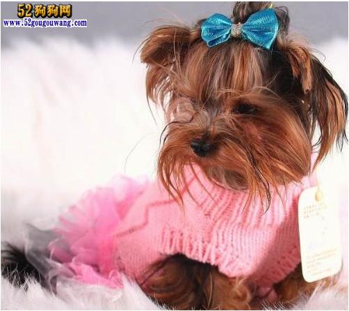 冬季约克夏犬养护 冬季约克夏犬毛发护理