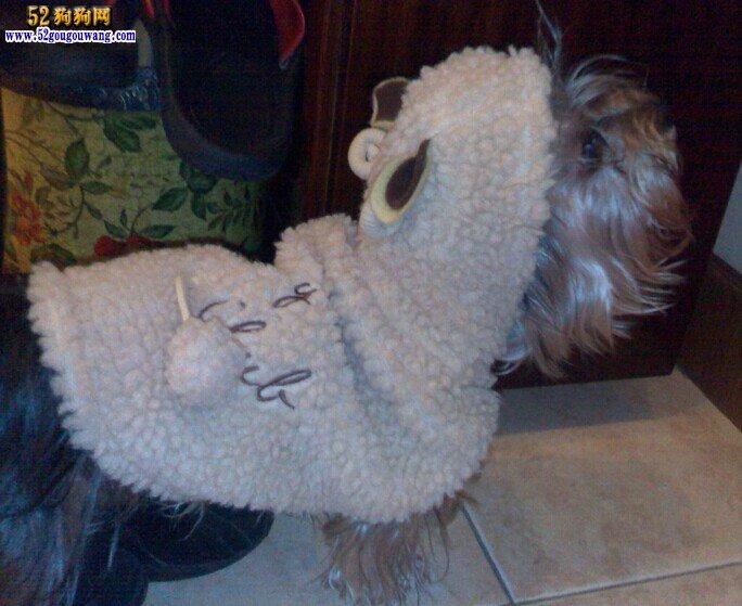 冬季约克夏犬防疫,冬季约克夏犬常见疾病
