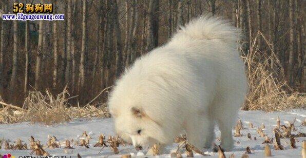 冬天萨摩耶犬怎么养护,冬季萨摩耶犬注意事项