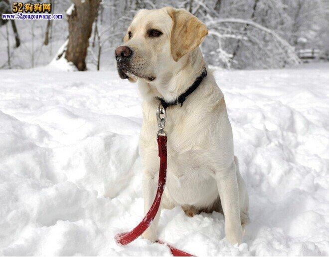 冬季拉布拉多犬怎么养