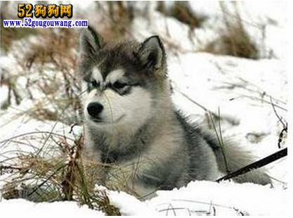 冬季阿拉斯加犬疾病