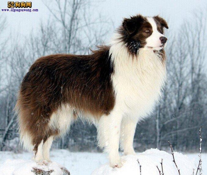 冬季怎么给边境牧羊犬美容