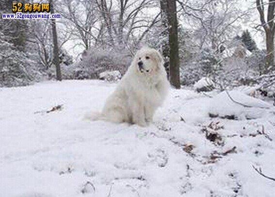 冬季大白熊犬怎么养护,大白熊犬冬天注意事项