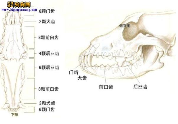 猫猫打狗狗_狗狗解剖图-狗狗图片-52狗狗网