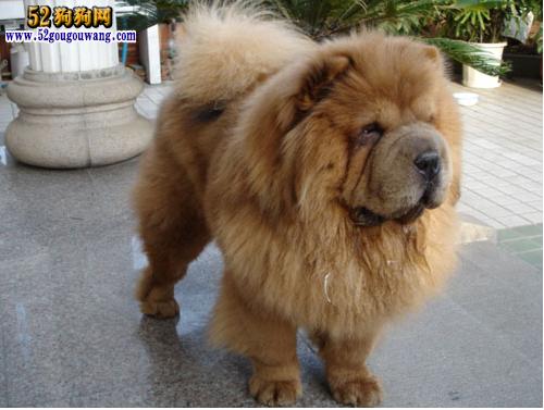 松狮犬怎么看纯种_纯种松狮犬-松狮犬-52狗狗网