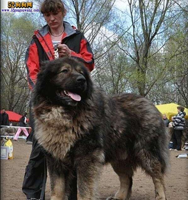 俄罗斯狗 高加索犬_巨型高加索犬图片-高加索犬-52狗狗网