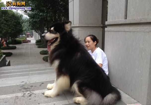 导读:阿拉斯加狗是一种大型的雪橇犬