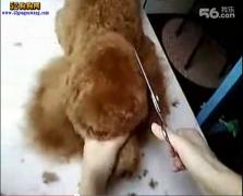 泰迪狗狗剪毛视频