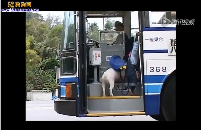 萌翻了!猩猩带着狗狗一起做公交 还会让座!