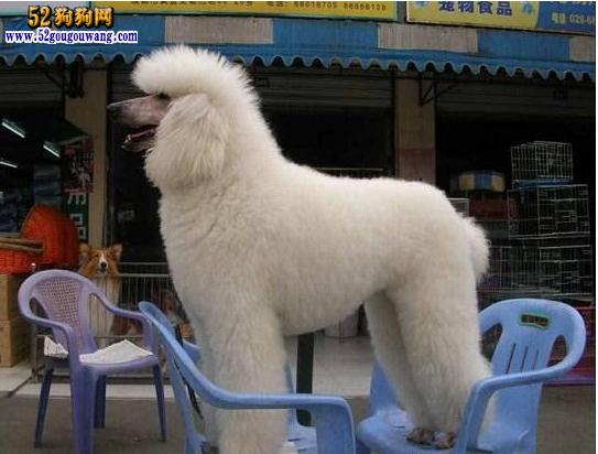 白色巨型贵宾犬价格_巨型贵宾犬-贵宾犬-52狗狗网