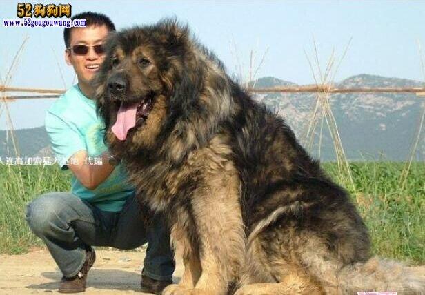 俄罗斯狗 高加索犬_高加索狗-高加索犬-52狗狗网