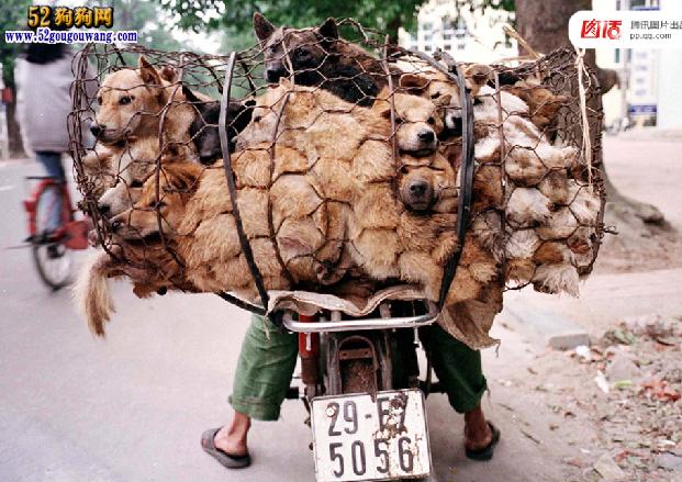 """全球吃狗争议 拿什么拯救这些""""肉狗""""图11"""
