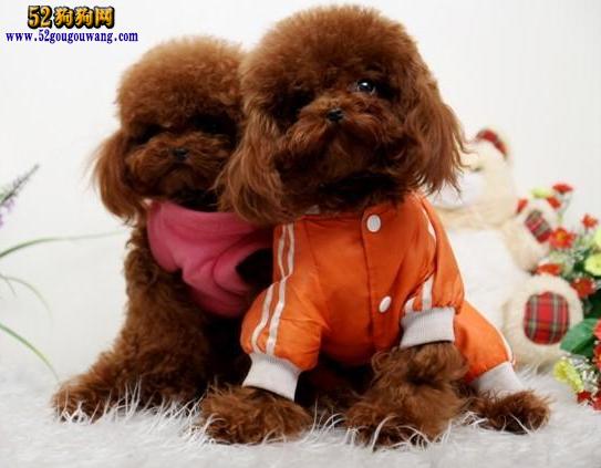 上海泰迪犬价格图