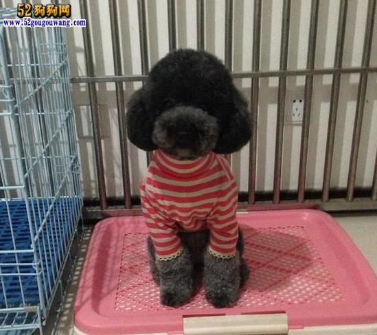 重庆泰迪犬价格图