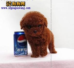 广东泰迪犬价格图