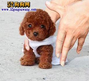 山东泰迪犬价格图
