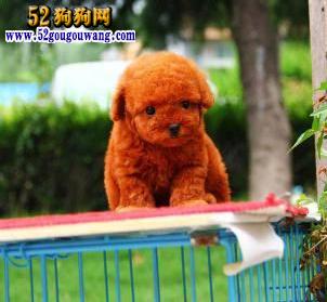 安徽泰迪犬价格图