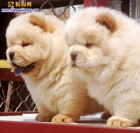 2015年上海松狮犬价格图