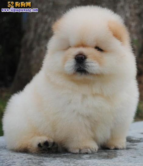 2015年重庆松狮犬价格图