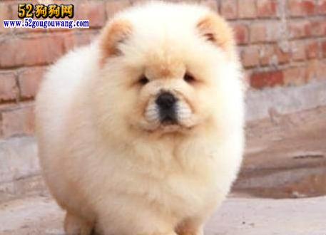 2015年广东松狮犬价格图