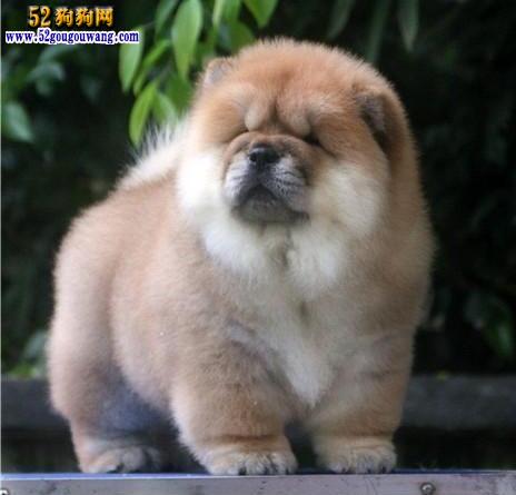 2015年福建松狮犬价格图