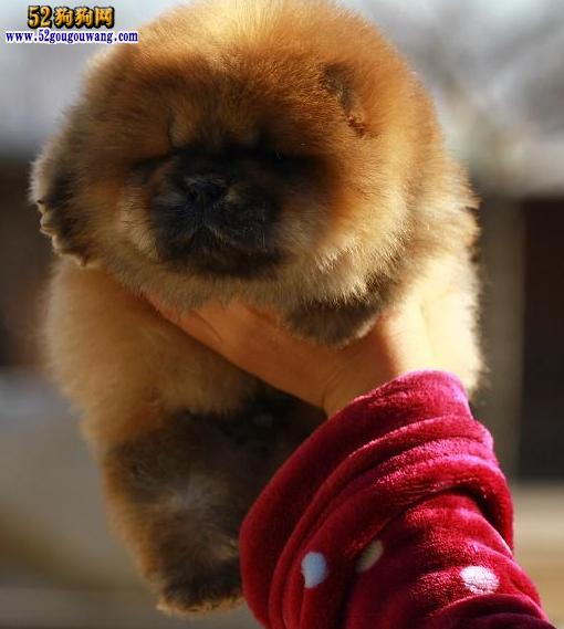 2015年浙江松狮犬价格图