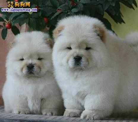 2015年江苏松狮犬价格图