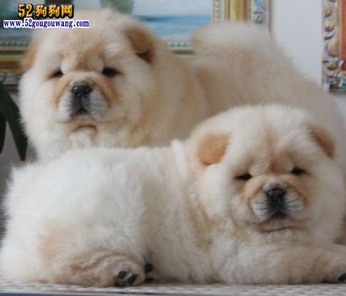 2015年江西松狮犬价格图