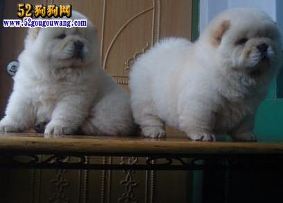 2015年四川松狮犬价格图