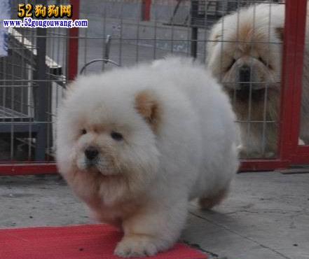2015年河南松狮犬价格图
