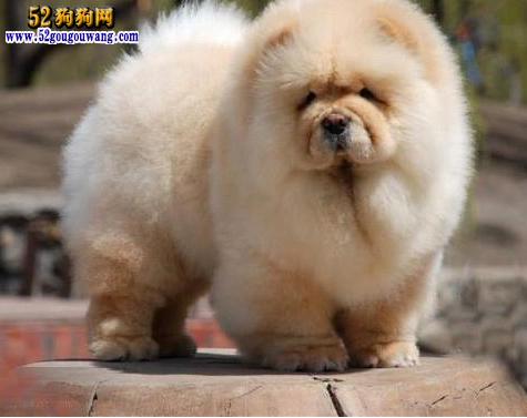 2015年安徽松狮犬价格图