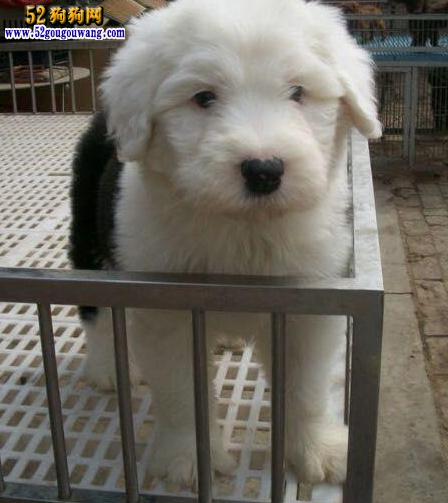 齐白���9/g9d�_19,湖南古代牧羊犬价格,湘潭通背白头齐白到位顶级古牧立邦