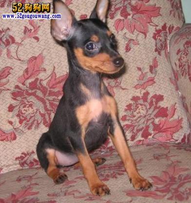 铁包金小鹿犬多少钱_【2015年小鹿犬价格】-小鹿犬-52狗狗网