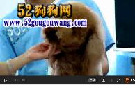 泰迪犬、泰迪狗的嘴型修剪方法