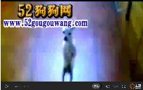 吉娃娃视频