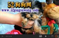 约克夏犬视频