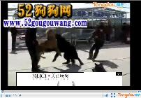 高加索犬搞笑视频,高加索犬vs藏獒打架视频