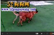 合作模切的两个宠物狗狗,狗狗训练视频