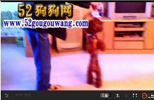 怎么训练狗狗两条退走路,狗狗训练视频