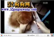 教你怎么给泰迪犬剪毛视频
