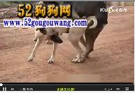 狗狗交配视频