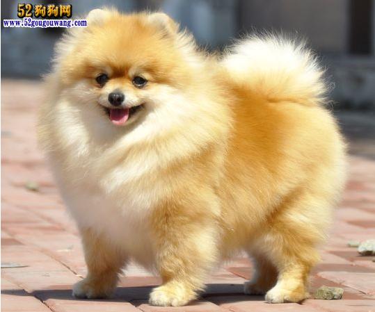 纯种博美犬价格图片_【英系博美犬价格】-博美犬-52狗狗网