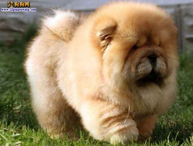 松狮犬的性格_【松狮狗图片】-松狮犬-52狗狗网